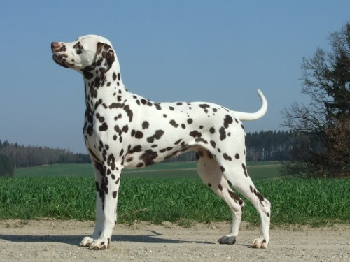 Holly, a Dalmatian in white with liver spots